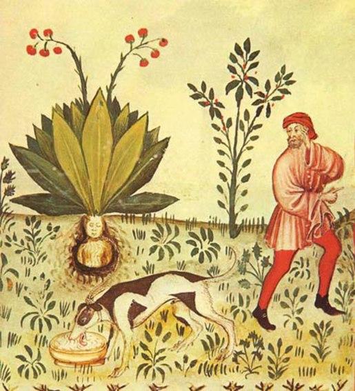 Mandragora Mandrake. Scanned from 15th century manuscript the Tacuinum Sanitatis 1474